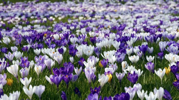 White-and-purple-crocus-on-a-field_1920x1080.jpg